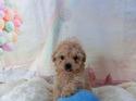 プードル販売11月28日生まれのクリーム女の子