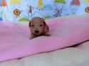 プードル販売4月1日生まれの女の子