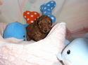 プードル販売8月25日生まれの男の子3匹目