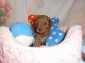 プードル販売8月26日生まれの男の子