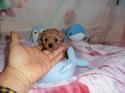 プードル販売11月28日生まれのレッド女の子