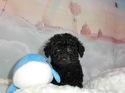 プードル販売11月28日生まれのブラックの男の子