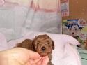 プードル販売2月3日生まれのレッド男の子
