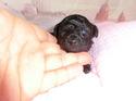 プードル販売5月29日生まれの女の子1
