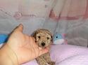 プードル販売11月3日生まれのレッドの女の子