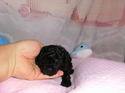 プードル販売11月19日生まれのブラックの女の子