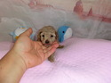 プードル販売12月3日生まれの女の子