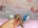 プードル販売12月4日生まれのベージュ女の子