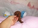 プードル販売12月4日生まれのレッド女の子