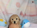 プードル販売11月19日生まれのレッドの女の子