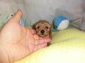 プードル販売2月16日生まれの男の子