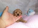 プードル販売3月9日生まれの男の子2