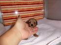 プードル販売6月19日生まれの女の子