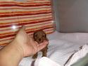 プードル販売6月19日生まれの男の子