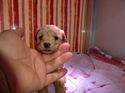 プードル販売1月20日生まれのレッドの男の子