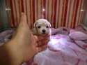 プードル販売2月2日生まれクリームの女の子