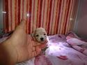 プードル販売2月2日生まれのクリーム男の子