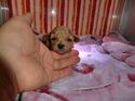 プードル販売2月2日生まれベージュの女の子1