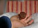 プードル販売4月9日生まれの女の子1