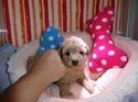 プードル販売8月9日生まれの女の子